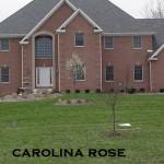 Carolina Rose